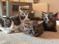 British shorthair/persian X kittens
