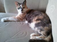 Missing Beautiful Tortoisehell Cat