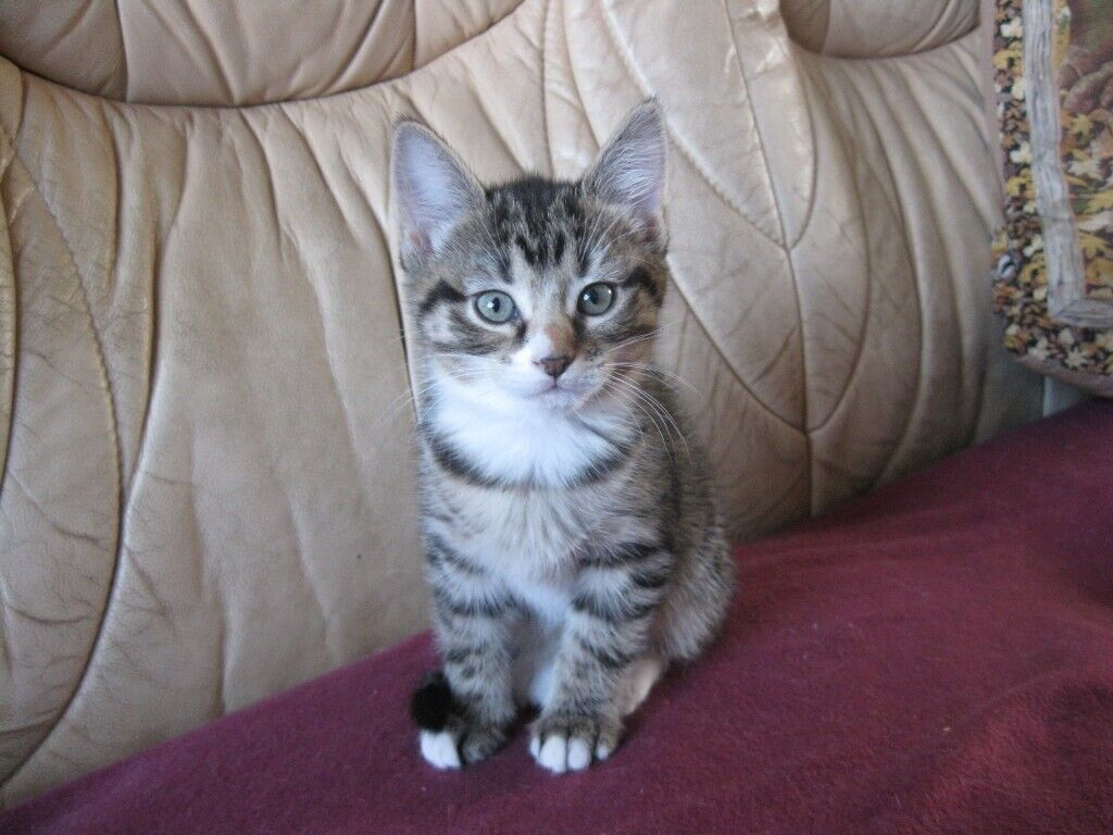 Bengal Type Kittens For Sale In Blairgowrie Perth And Kinross Gumtree
