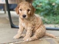Cockapoo Puppies, 2 boys available