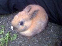 Netherland Dwarf x rabbits