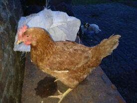 Bovan Brown petting hens for sale