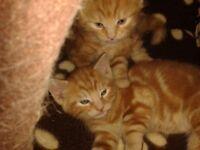 2 beautiful ginger kittens needing a home!!