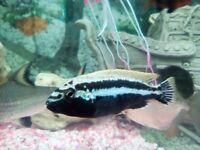 Malawi chiclid /melanochromis-auratus