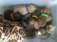 French Bulldog Puppies Ready End Of November