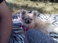 Long coat Fawn white KC STUNNING female chihuahua