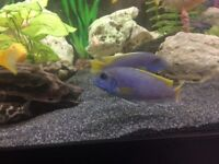 African Cichlids yellow tail aceis Tropical fish