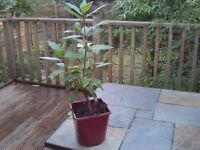 Sturdy bay tree plant