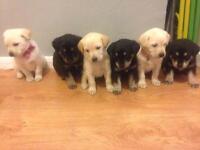 Labrador puppies 1/4 husky