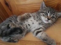 Stunning Bengal X Kittens ready to leave now