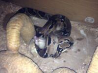 Female snake forsale