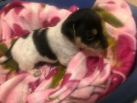 Jack Russell girl puppies