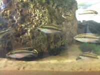Kribensis (Pelvicachromis pulcher) fish for sale
