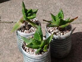 Various succulents for sale from £1 each, nothing more than £4. Room needed, Collect only.