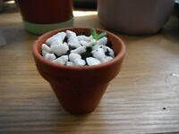 "Plant for sale-A jelly bean plant in a 5.5 cm (2"") terracotta pot"