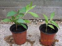 Weigelia Ruby Shrub Plants
