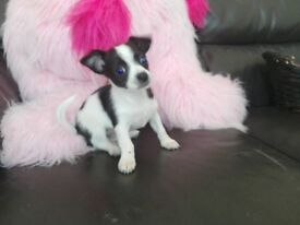 Chihuahua pup for sale 380