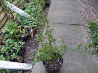 Two large plastic pots of goji berry plants