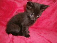 UNUSUAL KITTEN BLACK WITH BROWN STRIPES