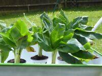 Banana plants, dwarf, evergreen, different size