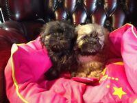 shinese puppies