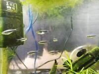 Black Neon Tetra Tropical Fish