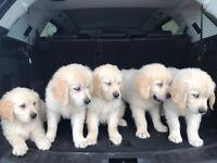 Golden Retriever Pups (only 1 male pup left)