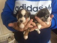 For sale 3 shitzu x chihuahua puppies