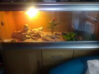Beared dragon and vivarium compete setup