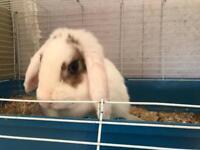 Adult female lop rabbit