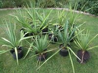 JOB LOT - 12 Yucca Faxoniana or Spanish Dagger – UK Outdoor Hardy 10 Litre Pots