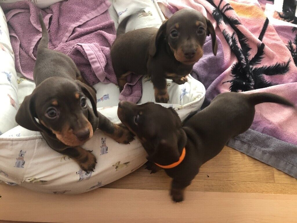 Kc Reg Miniature Dachshund Puppies In Hove East Sussex Gumtree