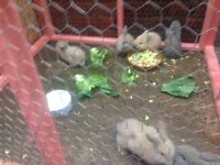 Rabbits-Baby lops ready now! Beautiful!!!