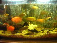 MALAWI CICHRID FISH FOR SALE