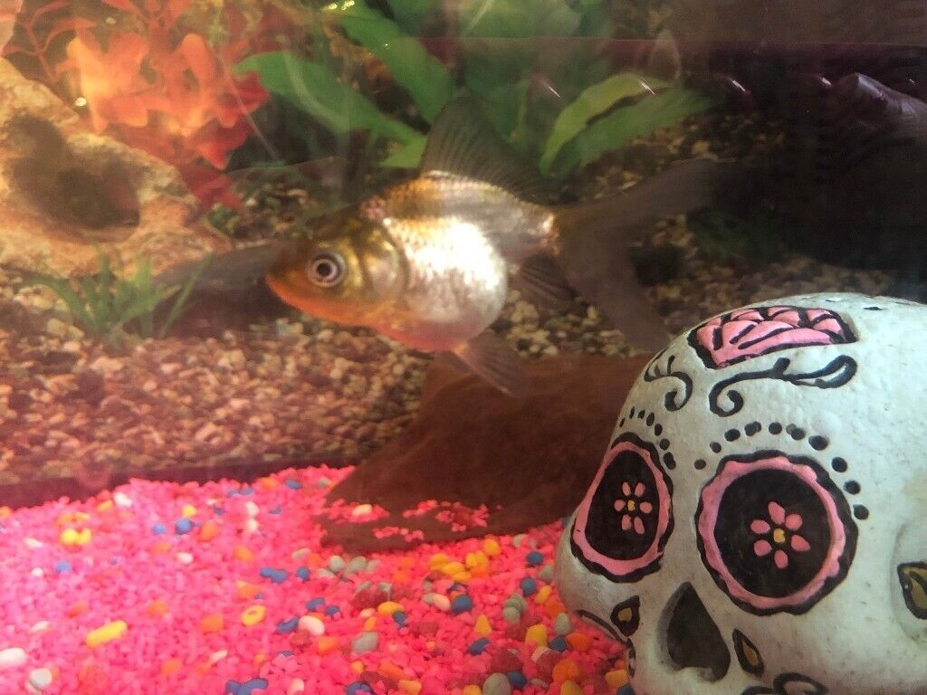 Full set up! Large tank with 2 black moor and 1 oranda fancy goldfish | in  Newcastle, Tyne and Wear | Gumtree