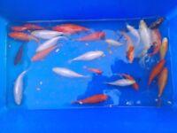 "4"" goldfish £2 each"
