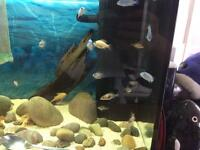 Malawi Fry For Sale