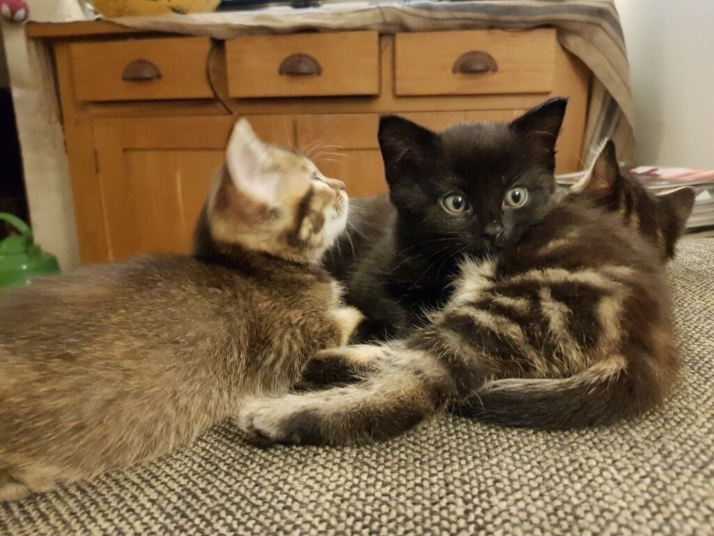 0f7f32c53bfc39 2 kittens for sale one black boy and tabby girl now 8 weeks old