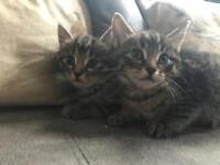 Fluffy tabby kittens for sale
