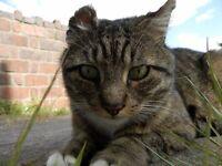 Lost stripy tabby cat