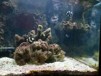 Black and white damsel marine fish x 2