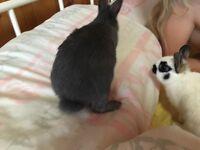 Netherland Dwarf Rabbit Boy