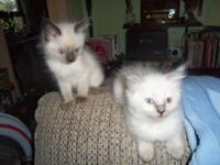 purebred ragdoll kittens boys and girls