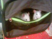 Pet Rats for sale.