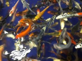 2 to 5 Inch Koi Carp 2 to 5 Inch Shubunkins Comets and Orange Goldfish for sale