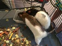 2 x pet Rats (very friendly) plus cage with hammock