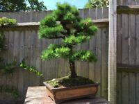 Bonsai - beautiful European Larch tree for sale