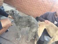 Bedlington greyhound lurcher pups