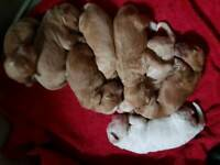PRA clear cockapoo puppies for sale