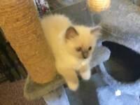 Gccf ragdoll kittens